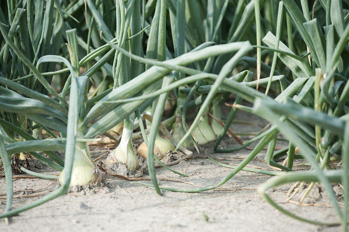 Onion-bedrijfsrep-5